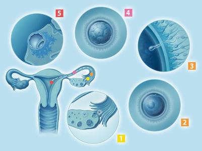 Eisprung, Befruchtung, Zellteilung, Einnistung
